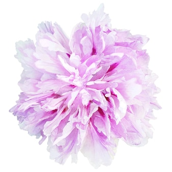 Painting pink-purple flower isolated on white background