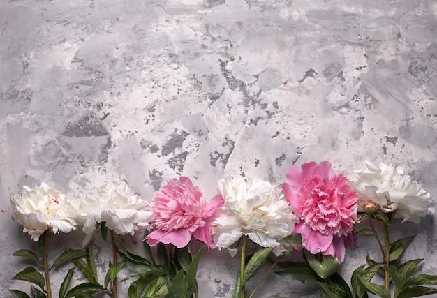 灰色の背景に分離されたpaioniesの花。