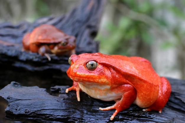 A pair of adult male and female tomato frog from madagascar in green natural wall, selective focus at a big one
