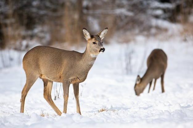 A pair of adult roe deer feeding themselves on the snowy field in winter