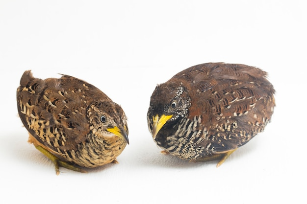 A pair of barred buttonquail or common bustard-quail (turnix suscitator) on white