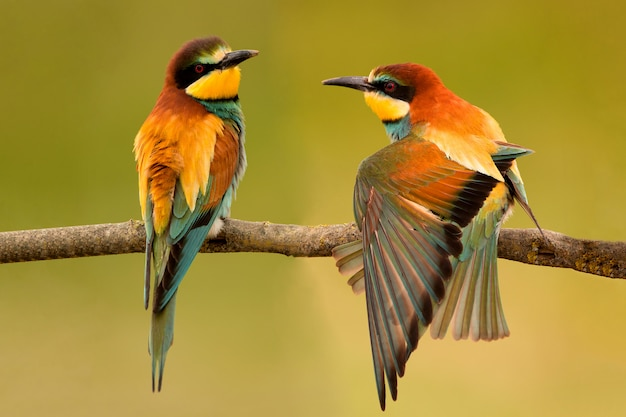 Pair of bee-eaters perched on a branch.