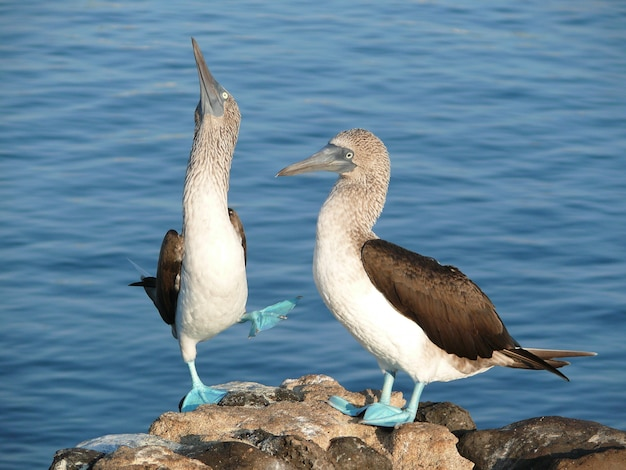 A pair of blue footed boobies in courtship