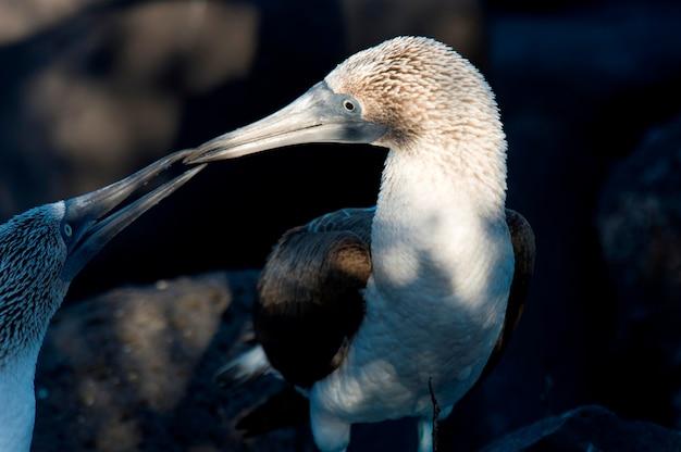 Pair of blue-footed boobies (sula nebouxii) loving, punta suarez, espanola island, galapagos islands, ecuador