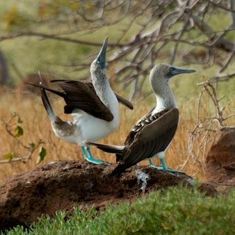 Pair of blue-footed boobies (sula nebouxii), north seymour island, galapagos islands, ecuador