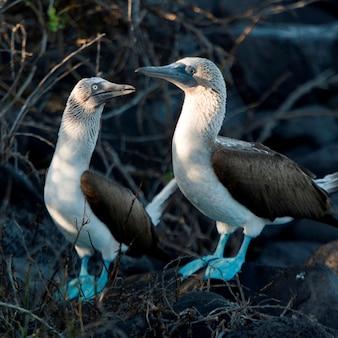 Pair of blue-footed boobies (sula nebouxii), punta suarez, espanola island, galapagos islands, ecuador