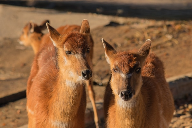 Pair of brown antelopes in the sand looking at camera