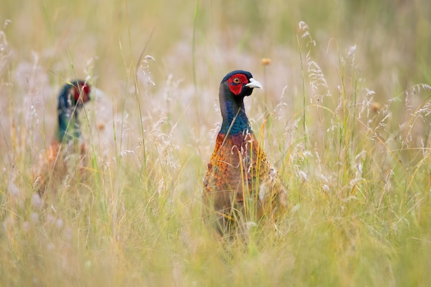 Pair of common pheasant hiding in long grass in summer