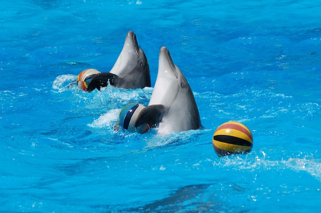 Pair of dolphins dancing in pool with balls