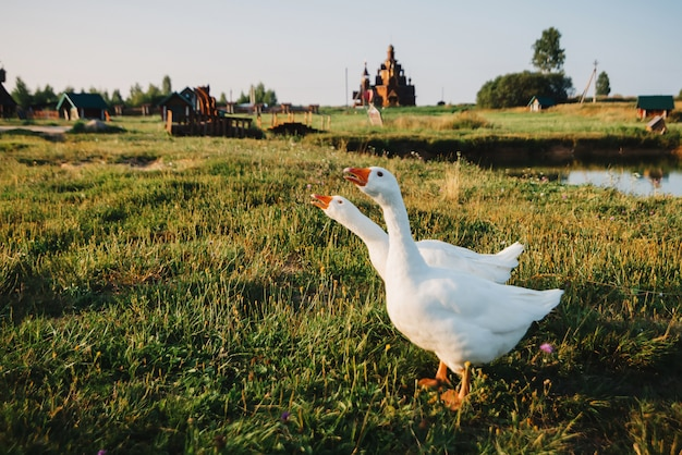 Pair of domestic white geese on green grass