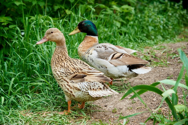 A pair of ducks in green grass.