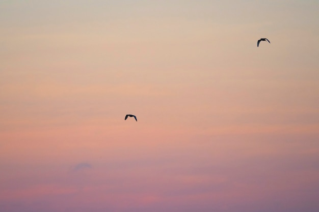 Pair of flying galápagos petrels in a pink sky of the galápagos islands
