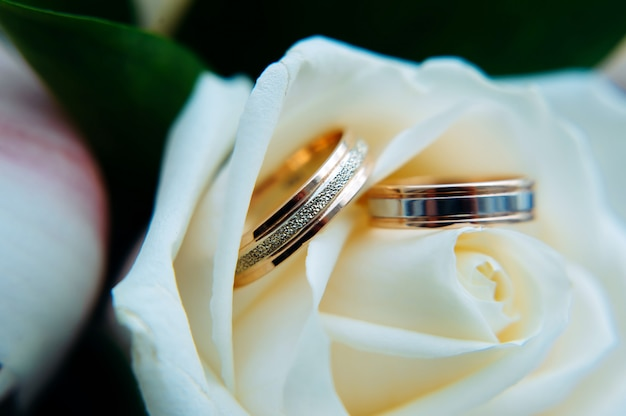 Pair of gold rings on rosebud, close up. two golden wedding rings laying on light beige roses