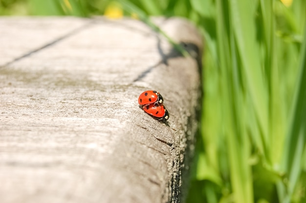 Pair of ladybird beetles mating on a concrete slab.