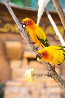 Pair of lovebird a bright orange parrots eating corn. bird watching