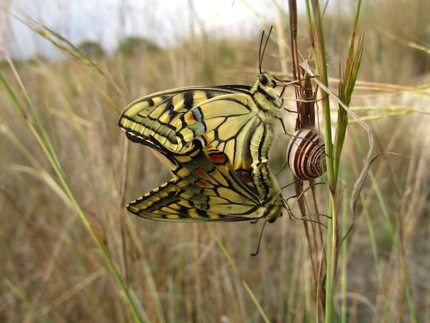 Coppia di farfalle maltesi a coda di rondine di accoppiamento accanto a una lumaca