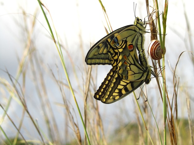 Pair of mating maltese swallowtail butterflies next to a snail