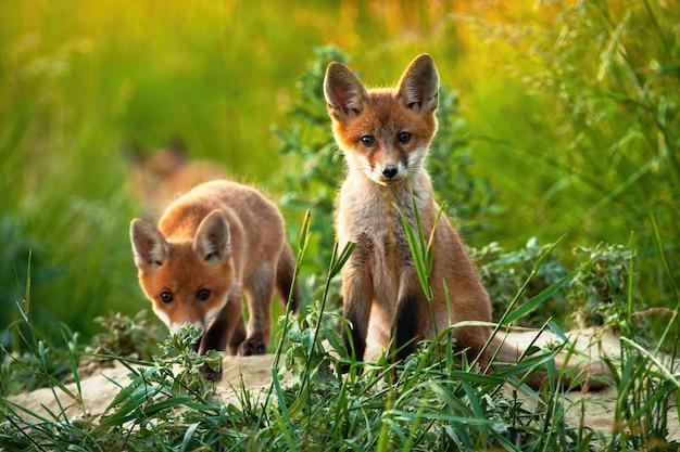 フィールドの真ん中に赤狐の愛らしいカブのペア