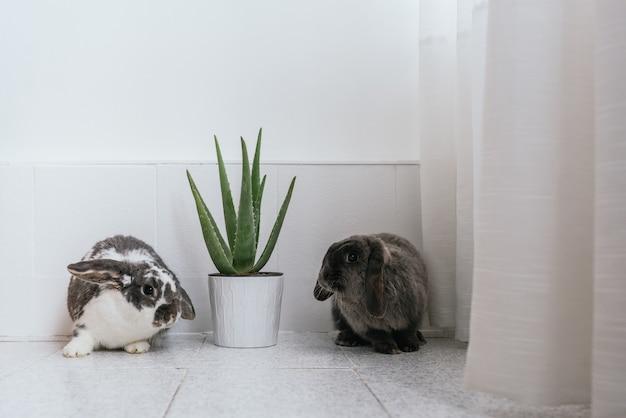 집에서 녹색 관엽 식물과 함께 냄비 근처에 앉아 회색과 흰색 모피와 함께 사랑스러운 솜털 토끼의 쌍