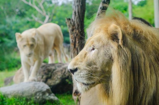 Пара взрослых львов в зоологическом саду