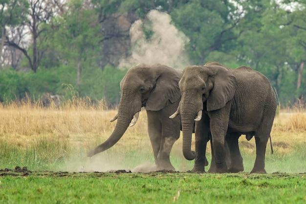 ほこりと緑の土地を歩くアフリカゾウのペア