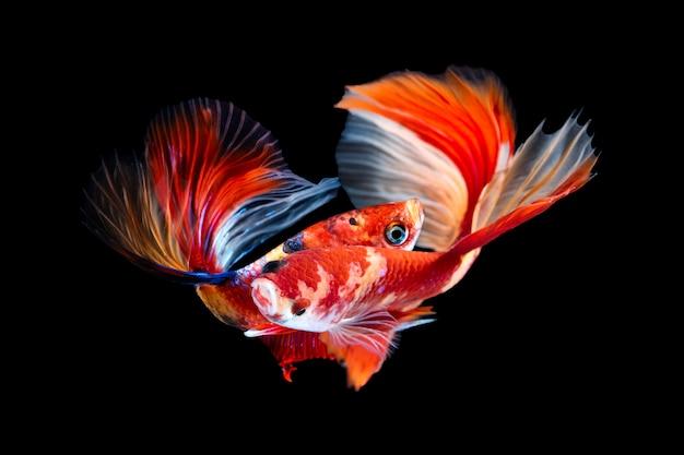 黒のbettaの魚のペア