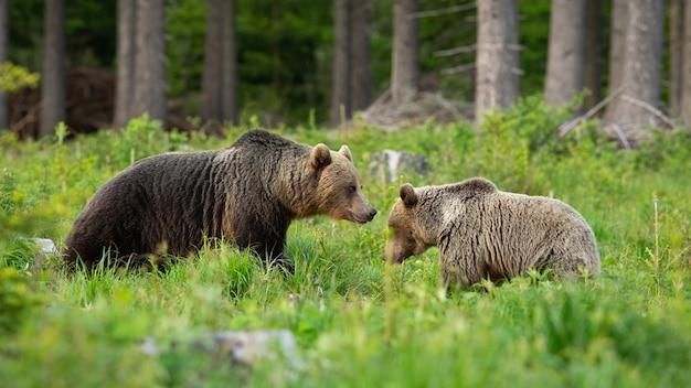 Пара бурых медведей в брачный период стоит на поляне в летнем лесу