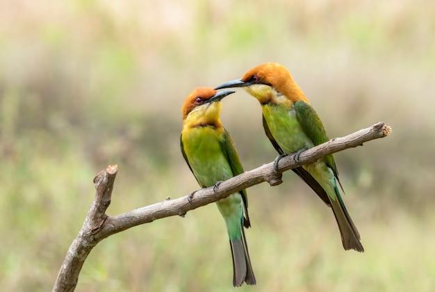 タイの木の枝にとまる栗の頭のハチクイまたはmeropsleschenaultiのペア