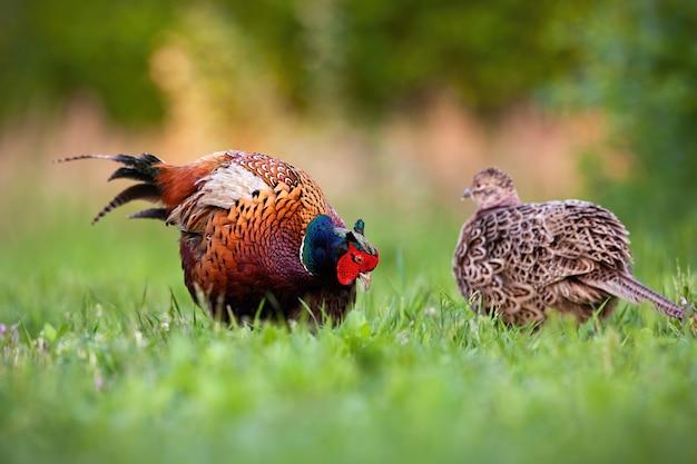 Пара общих фазанов в сезон ухаживания в весенней природе