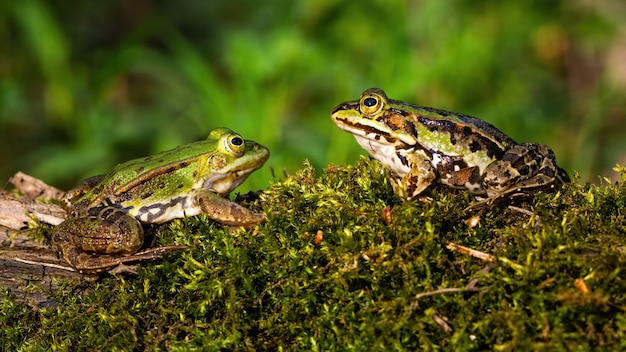 Пара съедобной лягушки на мхе покрыла ствол дерева в летней природе