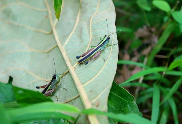 열대 우림에 떨어진 낙엽에 등반하는 메뚜기 한 쌍