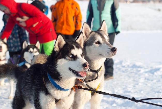 犬ぞりレースの開始前に利用されたシベリアンハスキーのペア