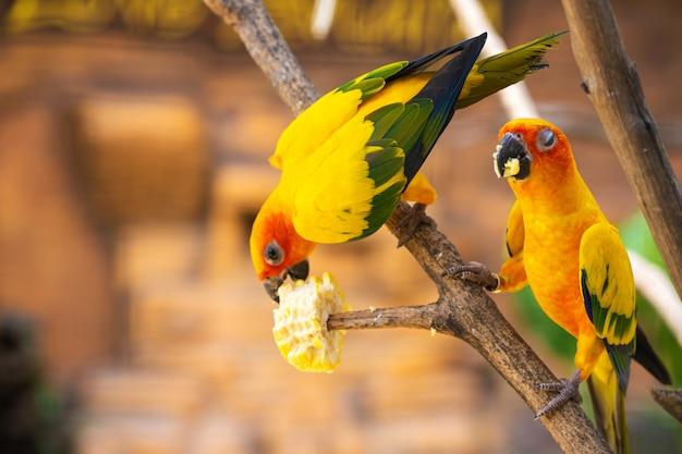 Пара неразлучников ярко оранжевые попугаи едят кукурузу. наблюдение за птицами