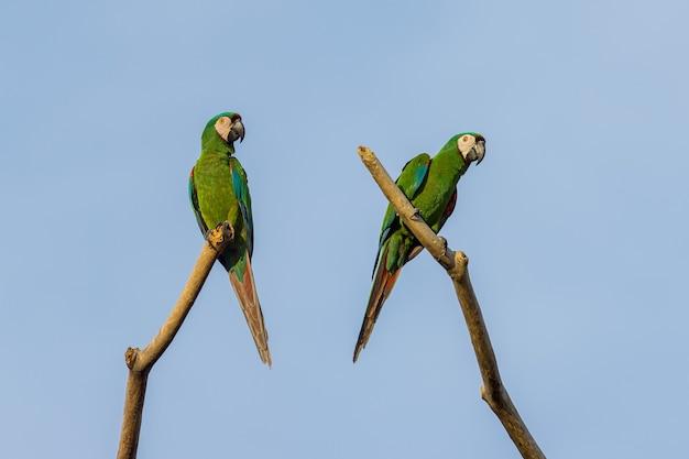 마코 앵무새 한 쌍은 마른 나무 위에 자리 잡고