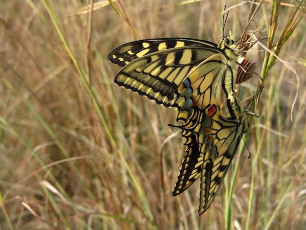 Пара спаривающихся мальтийских бабочек-парусников рядом с улиткой