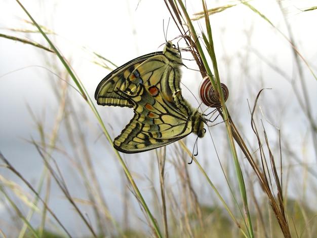 カタツムリの横にある交尾マルタのアゲハチョウのペア