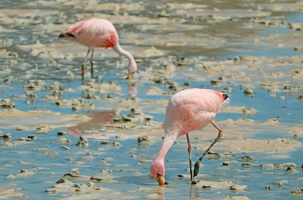 ボリビアのラグーナヘディオンダ湖の浅い塩水で放牧しているピンクのフラミンゴのペア