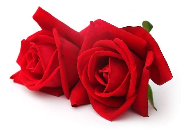 白い背景の上の赤いバラのペア