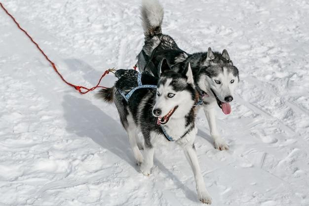 晴れた日の冬の風景を利用したハスキー犬ぞりのペア
