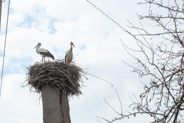電柱の上に巣にいるコウノトリのペア