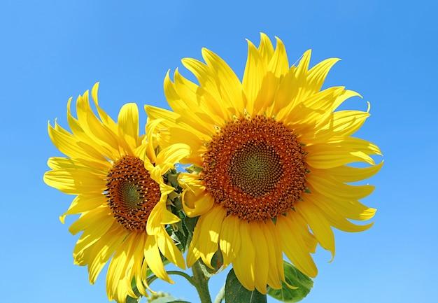 생생한 푸른 맑은 하늘에 대 한 생생한 노란 해바라기의 쌍