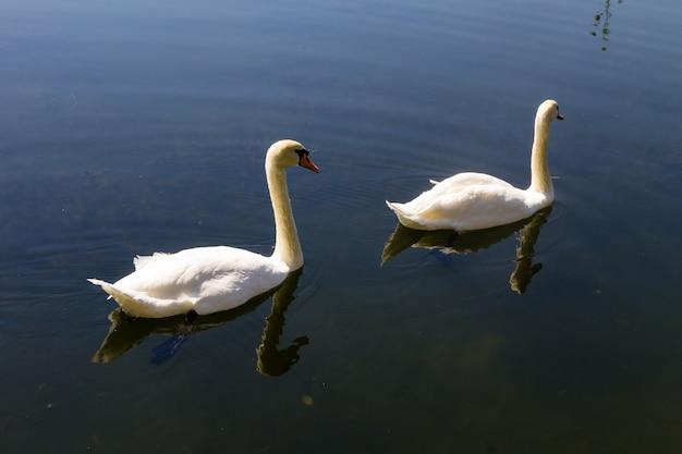 호수에 떠 있는 하얀 백조 한 쌍