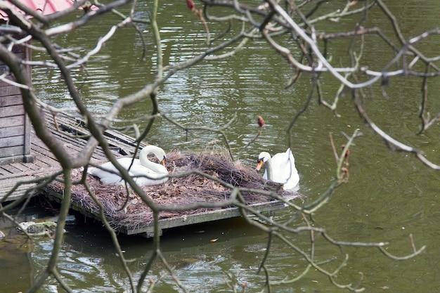 都市公園の小さな湖の真ん中に巣に座っている白い白鳥のペア