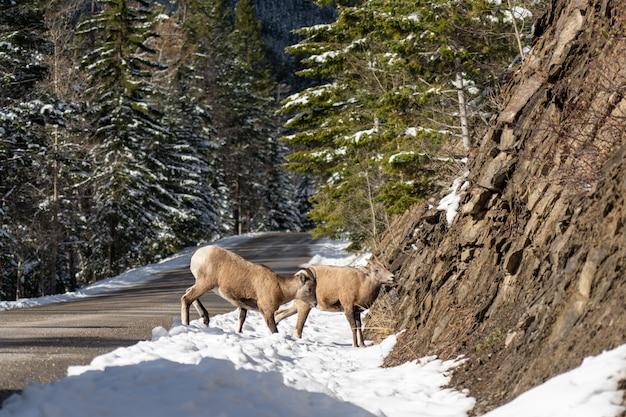 雪に覆われた山道の岩が多い丘の中腹のバンフ国立公園に立っている若いオオツノヒツジのペア