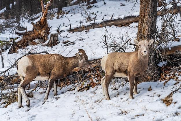 雪に覆われた森のバンフ国立公園カナダの若いオオツノヒツジの雌羊と子羊のペア