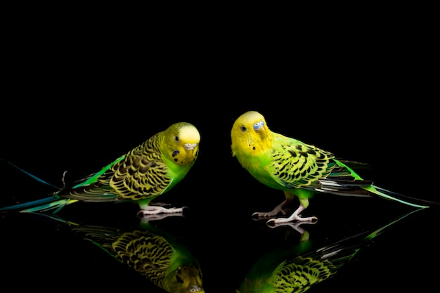A pair of parakeets budgerigar bird isolated on black