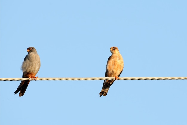 A pair of red footed falcone sits on the electrical wire