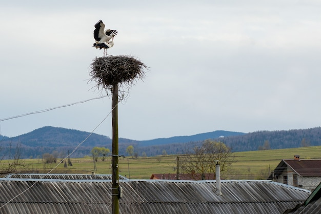 Pair of storks play in their nest above the pole