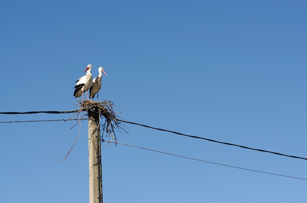 Pair of storks in their nest on a pole