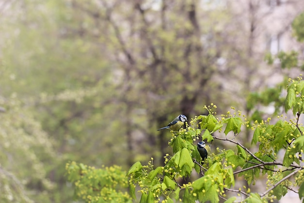 A pair of tits on a branch of a flowering tree. spring background. birds of the titmouse.